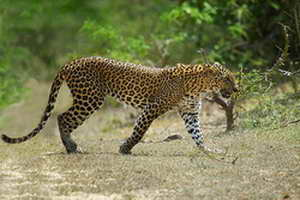leopard-in-yala