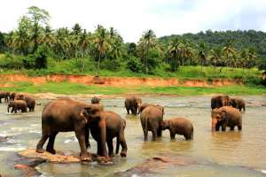 Elephant Orphanage in Pinnawela