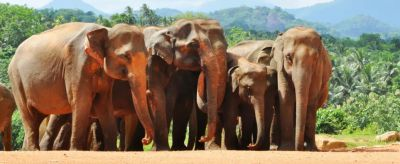 Pinnawala elephants